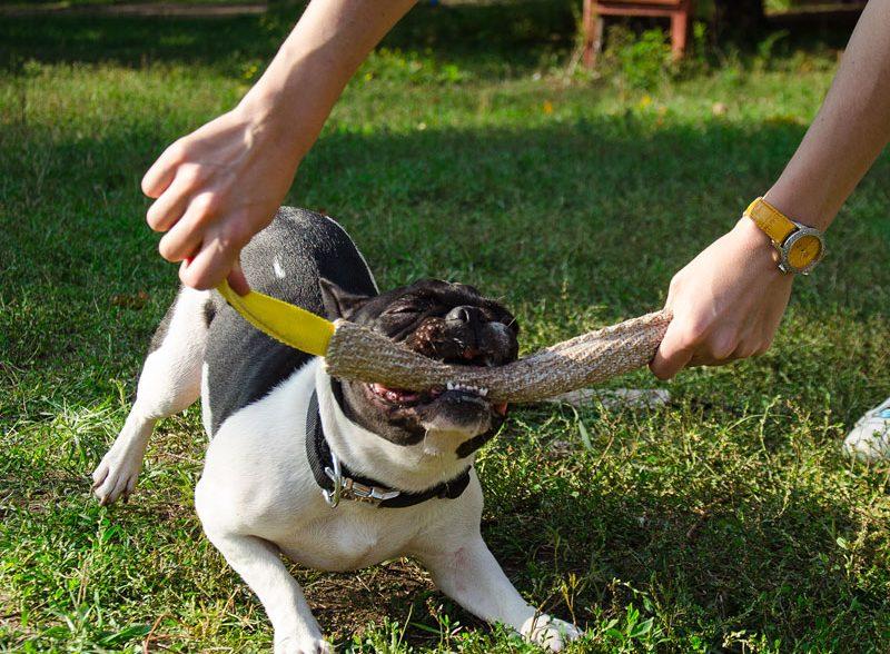Beneficios de los mordedores para perros